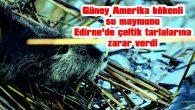 GÜNEY AMERİKA KÖKENLİ 'SU MAYMUNU', EDİRNE'DE ÇELTİK TARLALARINA ZARAR VERDİ
