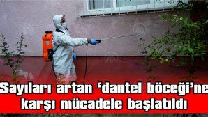 SAYILARI ARTAN 'DANTEL BÖCEĞİ'NE KARŞI MÜCADELE BAŞLATILDI